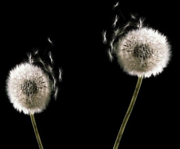 black and white minimalist elegant dandelion wallpaper wallpaper