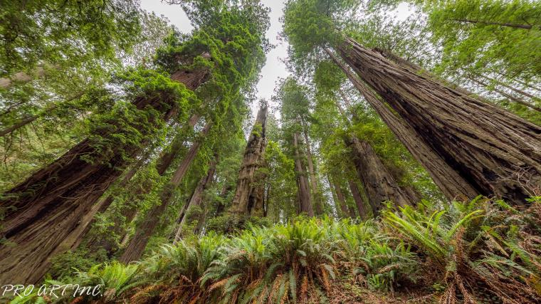 Berry Glen Trail Redwoods ProArtInc