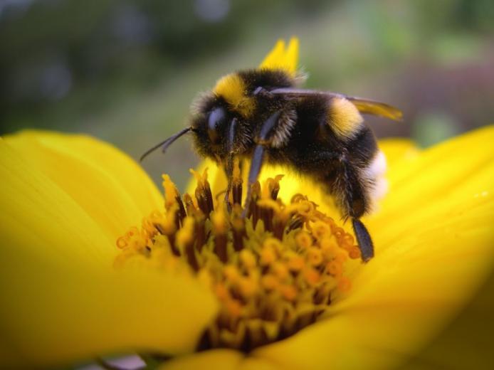 Bumble Bee Wallpaper Background 23232 Wallpaper Wallpaper hd