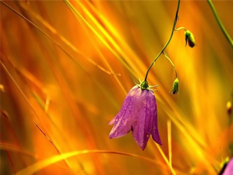 Wallpapers   HD Desktop Wallpapers Online flower wallpaper