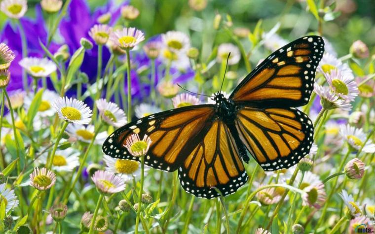 Download Wallpaper Monarch Butterfly in a Daisy Field