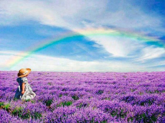 Lavender Fields Wallpaper Rainbow over lavender fields