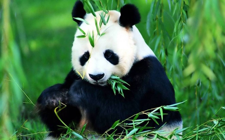Save The Panda Bears   Flora and Fauna Wallpaper 18586480