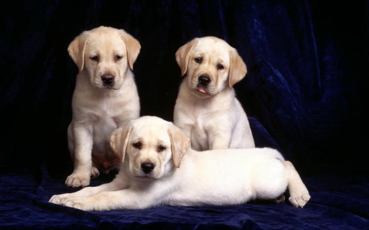 Puppies Yellow Desktop Background Original wallpapers HD   199103