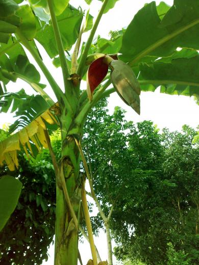 FileBanana Tree 3jpg   Wikimedia Commons