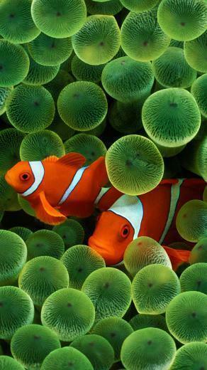 Clown Fish iPhone Wallpaper HD
