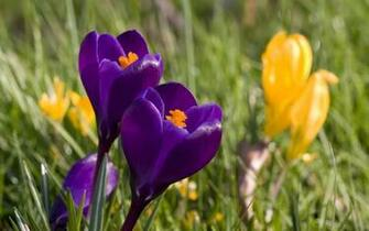 Spring Crocus Flowers Background Wallpaper
