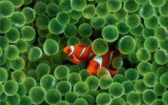 Download Fish Wallpapers wallpaper apple clown fish wallpaper