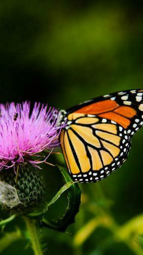 Monarch Butterfly on Thistle Flower Wallpaper   iPhone Android