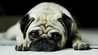 All Wallpapers Pug Dog Hd Wallpapers