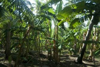 grove of cultivated banana trees on a farm in a banana palm plantation