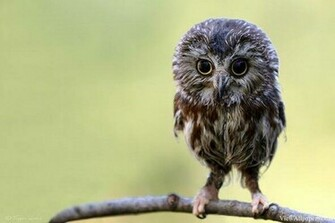 Animal Planet Baby Owl High Resolution download Animal Planet