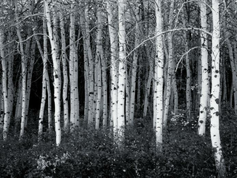 black and white aspen forest wallpaper corporate socialist glenn