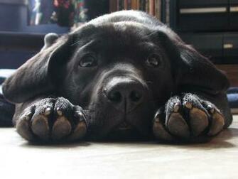 black labrador retriever puppy dog face paws upclose cute 1024x768jpg