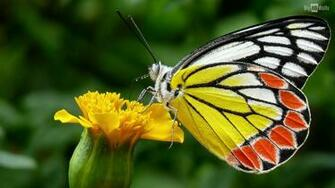 Colorful Butterfly Hd Wallpaper 6 Hd Wallpaper