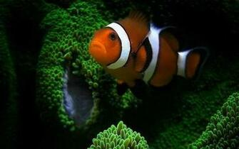 CLOWN FISH WALLPAPER   52250   HD Wallpapers   [wallpapersinhqnet]