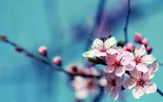Cherry Flower Full HD Desktop Wallpapers 1080p