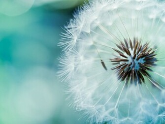 1280x960 Fluffy Dandelion desktop PC and Mac wallpaper