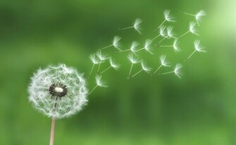 Blowing Dandelion Photography Dandelion Weed Seeds Blowing