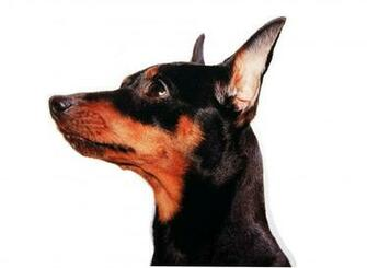Miniature Pinscher face close up wallpapers and images