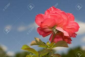 A Single Rose The Color Of Sherbert With Blue Sky Background Stock