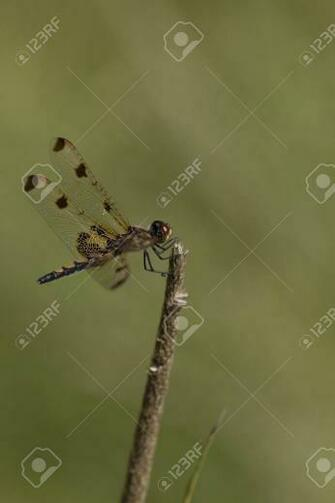 Pretty Dragonfly Clamped On A Twig Isolated On A Blurry