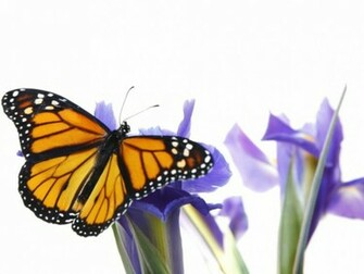 Monarch Butterfly Backgrounds wallpaper wallpaper hd background