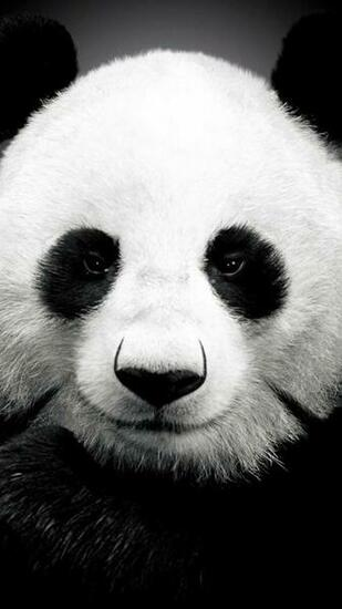 Panda bear   Best htc one wallpapers and easy to