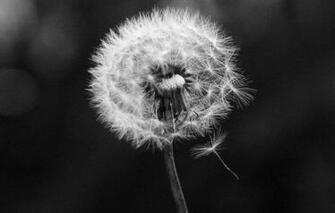 Alf img   Showing Black And White Dandelion Wallpaper