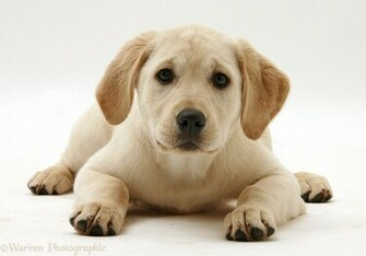 34882 Yellow Labrador Retriever puppy white backgroundjpg