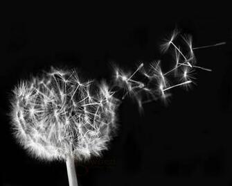 Dandelion Blowing Black And White Dandelion seeds black and