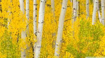 Golden Aspens Rocky Mountains Colorado 4K HD Desktop