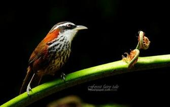 Pin Branches Birds Small Scimitar Babbler Wallpaper 1680x1050 on