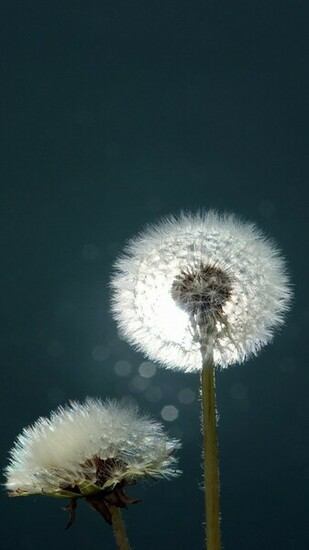 download dandelions close up wallpaper for samsung galaxy note 3