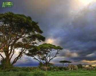 Animal Planet Wallpaper Download   elephants savannah