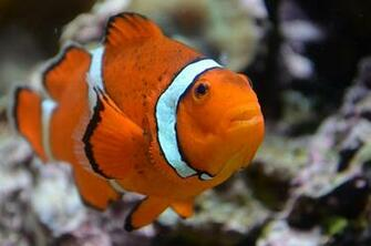 Clown Fish Wallpapers For Download HD Fish Download For Fish