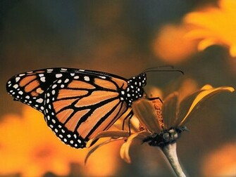 Monarch Butterfly   Insects Wallpaper Image featuring Butterflies