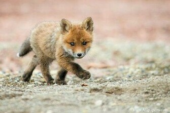 Animal Planet Baby Fox Walking High Resolution download Animal