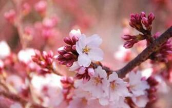 wallpapers Cherry Flowers Wallpapers