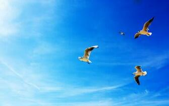 Seagulls in Flight Wallpapers HD Wallpapers