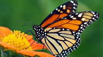 Monarch Butterfly wallpaper 1600x900 13800