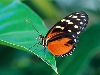 butterflies wallpaper hd butterfly wallpaper 3