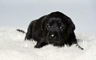 Black Labrador Wallpapers