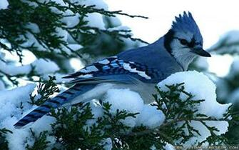 Download Blue Jay Winter Birds Wallpaper Full HD Wallpapers