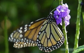 Monarch Butterfly Wallpaper 8865 Hd Wallpapers in Animals   Imagesci