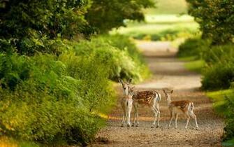 Deer HD Wallpapers Photos Deer HD Wallpapers Image Gallery
