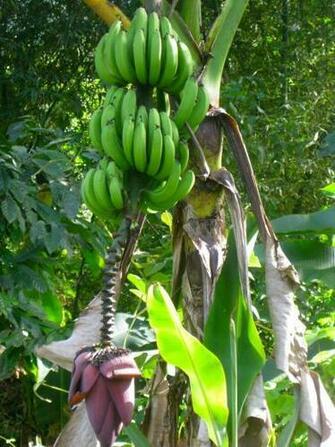 Banana Tree PicturesBanana Cake Banana Cake