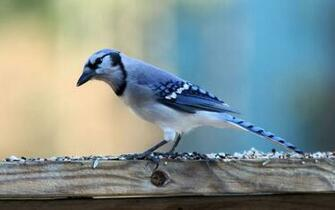 Download Blue Jay wallpaper