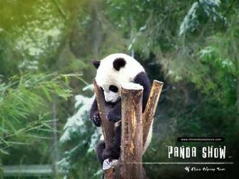 Beautiful Wallpapers panda bear wallpaper
