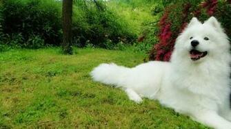 Samoyed Husky HD Wallpapers 7wallpapersnet